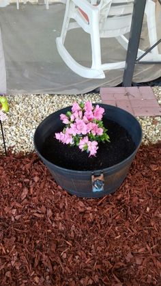 Azaleas in planters.
