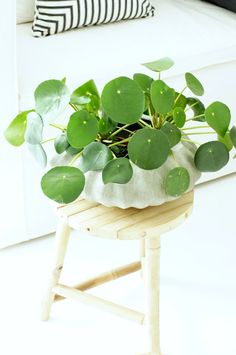 the Chinese Money Plant aka Pilea peperomioides.