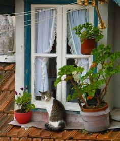 Portuguese kitty 2 (via fastcat! Cute Cats, I Love Cats, Baby Animals, Cute Animals, Cat Window, Lots Of Cats, Looking Out The Window, Beautiful Cats, Pets