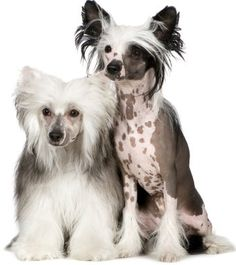 """What people think I have when I say """"Chinese Crested"""" - the hairless one - and what I actually have - the adorable powderpuff!"""
