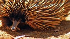 Echidnas , sometimes known as spiny anteaters, belong to the family Tachyglossidae in the monotreme order of egg-laying mammals. Fake News Stories, Echidna, Mammals, Animal Pictures, Animal Pics, Animal Photography
