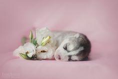 A newborn husky puppy, just a few days after birth. Photo by Ksenia Raykova