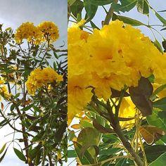 #yellow #yellowtree #dubai #fadiradi #sun_after_rain #gardenlove #gardenmagic #gardendesign #diygarden #diygardendesign #Mudon_Villas #Mudon #dp #dubaistyle