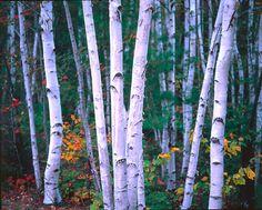 24 Trees And Birds Ideas Bird Silhouette Birds Birch Tree