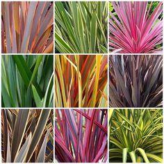 Fórmio - Phormium tenax - Flores e Folhagens Florida Landscaping, Tropical Landscaping, Modern Landscaping, Succulent Landscaping, Landscaping Plants, Front Yard Landscaping, Landscaping Jobs, Tropical Garden Design, Tropical Plants