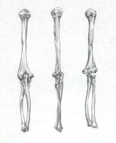 Bones: Humerus, Ulna, Radius by Sefeiren