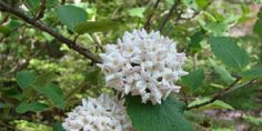 white viburnum super fragrant and easy to grow