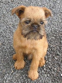 """Brussels Griffon ~ reminds me of """"As Good As It Gets"""" and King Louie as a pup Cute Puppies, Cute Dogs, Dogs And Puppies, Doggies, Griffon Bruxellois, Animals And Pets, Cute Animals, Griffon Dog, Brussels Griffon"""