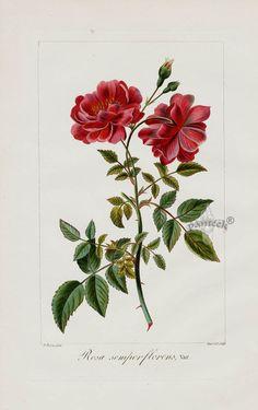 Rosa Semperflorens. Pancrace Bessa Prints from Herbier General de l'Amateur 1816.
