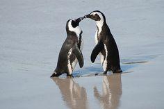 Penguins #penguin #animallovers #animals