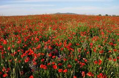 Maremma in May is covered in beautiful poppies!  http://www.arttrav.com/tuscany/poppies/#
