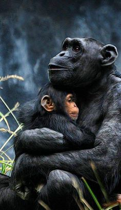 Chimpanzees by Kathy Salerni