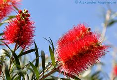 Here is a closeup of what the French Polynesians call a Bottlebrush Tree. It looks like a huge pipe cleaner! It's interesting how you can see on the left blossom all the little new individual bristles beginning to unfold at the top.  ~ Moorea, French Polynesia