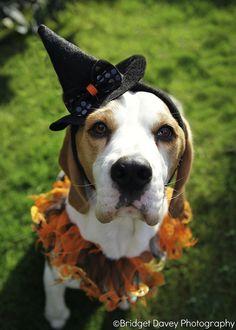 Halloween Beagle by Bridget Davey (www.bridgetdavey.com)
