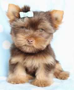 CHOCOLATE YORKIE PUPPY I want it. I want all the chocolate yorkie puppies in the whole world!!