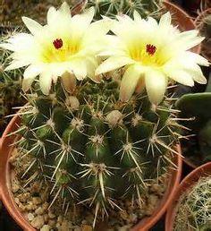 notocactus floricomus