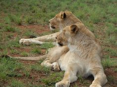 south africa animal lions 1