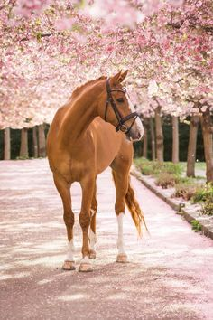 Pretty Sorrel horse with a white blaze and socks standing under beautiful princess pink flowering trees.