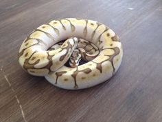 lesserbee ball python.