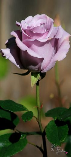 Frivolous Fabulous - Elegant and Lovely Sterling Roses Frivolous Fabulous Arrangement De Fleurs