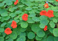 NASTURTIUM.........attract butterflies easily & they are sooooo PRETTY.......plant all over the yard......and you can eat the blossoms....use them in salads..........sigh.........ready for summer............