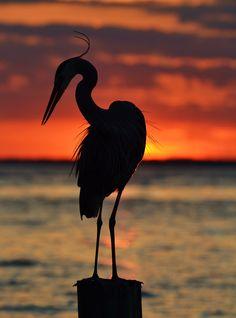 Great Blue Heron, Destin, FL