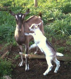 Three Waters Farm, goat's milk soap, dairy goat, kid, Alpine goat