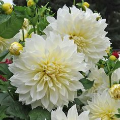 Silver Tree Forest is a permaculture nursery and forest farm located in the hamlet of Owasco, NY. White Dahlias, Dahlia, Planting Flowers, Pretty Plants, Beautiful Flowers Garden, Fall Floral Arrangements, Dahlias Garden, Flowers, Dahlia Flower