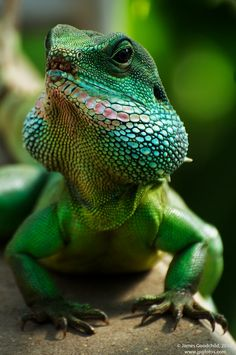 temperate lizard