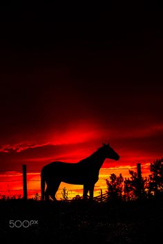 Mustang silhouetted against a deep red sunset in Alberta Canada.