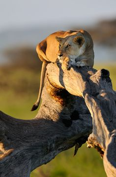 Keeping watch. Ancient traditions that don't protect from guns. They deserve a chance. YOU can give it to them. http://animals.nationalgeographic.com/animals/big-cats-initiative/get-involved/