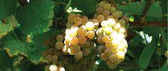 En nuestros viñedos está la esencia de Lagar de Pintos. Ellos atesoran nuestras señas de identidad y en ellos se concentra, por tanto nuestro trabajo.  #bodega #albariño #vino #wine