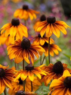 80 best rudbeckia images on pinterest in 2018 garden plants rudbeckia hirta rustic dwarf mightylinksfo
