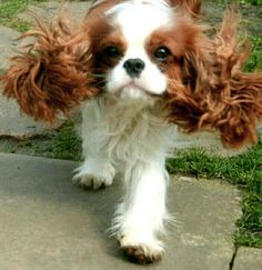 Cavalier King Charles Spaniel Blenheim Source by The post Cavalier King Charles Spaniel Blenheim appeared first on Jim Norman Dogs. King Charles Puppy, Cavalier King Charles Dog, King Charles Spaniel, Spaniel Puppies, Cocker Spaniel, Cute Puppies, Cute Dogs, Awesome Dogs, Cavalier King Spaniel