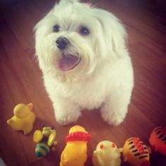 Maltese dogs love to play!