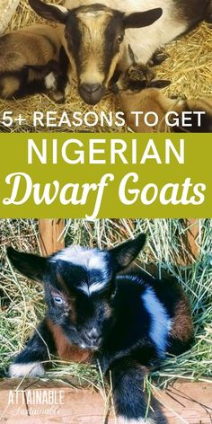 Nigerian Dwarf goats are a great choice for any size homestead, especially those that are short on space. Nigerian goats are the perfect small scale dairy animal. Raising Farm Animals, Raising Goats, Mini Goats, Baby Goats, Small Animals, Baby Animals, Poodles, Miniature Goats, Keeping Goats