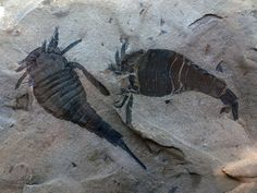 trilobites - I love trilobites. They are just awesome