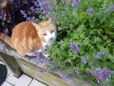 Ginger Meggs is getting a load of a catnip plant. #catnip - Find out more about Cat nip at Catsincare.com!