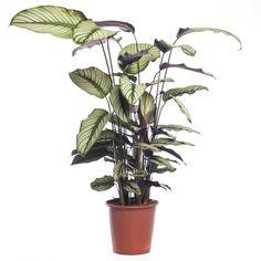 Calathea (Calathea majestica 'Whitestar') D 19 cm Monstera Deliciosa, Pachira Aquatica, Calathea Orbifolia, Baby Wish List, Homemaking, Cactus Plants, Indoor Plants, Greenery, 21st
