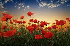 More beautiful poppies...