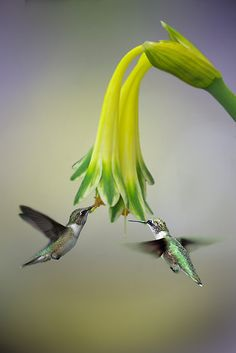 ~~Friends ~ hummingbirds by EbyArts~~