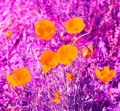 California Poppies spring up in the desert all around Tucson, Arizona in the spring-time, but a good showing needs the winter rains to nourish the seeds. Only certain years yield vastly abundant flowers!  Prints now available!