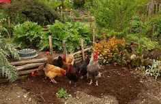 Chickens in the country garden