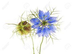Nigella Sativa Or Fennel Flower, Nutmeg Flower, Black Caraway ... www.123rf.com