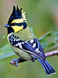 The Indian black-lored tit, Indian tit or Indian yellow tit is a resident breeder on the Indian subcontinent. It is a vocal bird with a large variety of calls.