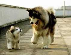 That's right son, when we get back home, you can chew up anything you want, you have my permission. ~ ALASKAN MALAMUTE FAMILY <3