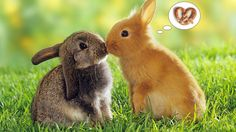 What do you need to know before you adopt a bunny rabbit? The Unconditional Love of Having a Bunny Among my menagerie of pets, I have a sweet rabbit named Peaches. He is a long floppy eared bunny, also known as a French Lop Rabbit. Tier Wallpaper, Rabbit Wallpaper, Animal Wallpaper, Easter Wallpaper, Windows Wallpaper, Computer Wallpaper, Animals Kissing, Cute Baby Animals, Animals And Pets