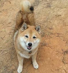 Happy Saturday! Have a great weekend everyone!  #shibainu #shiba #doge #petstagram #dogstagram  #hawaiidogs #shibalove