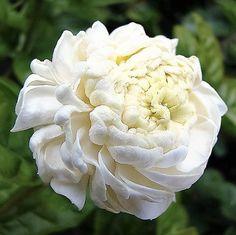 """Jasminum sambac """"Duque"""" Jasmim Árabe ou Bugarí de Flores Brancas Duplas - Jardim Exótico - O maior portal de mudas do Brasil."""
