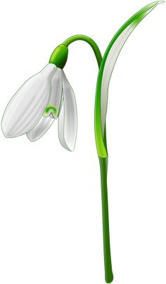 Snowdrop (Galanthus nivalis) by @Andy_Gardner, A snowdrop drawn on Inkscape., on @openclipart
